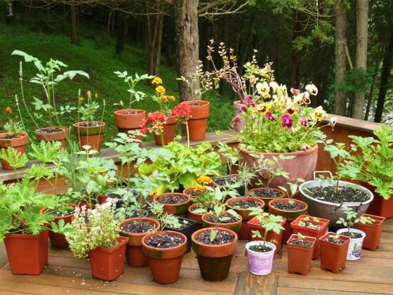 Baby tomato plants.