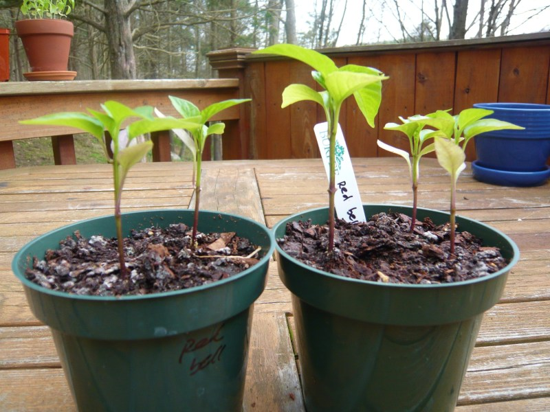 King of the North red bell pepper seedlings.