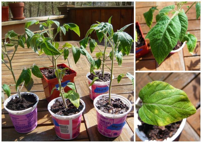 Stupice seedlings.