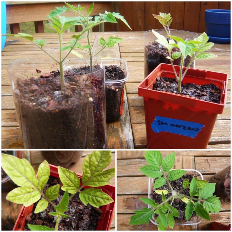 San Marzano seedlings.