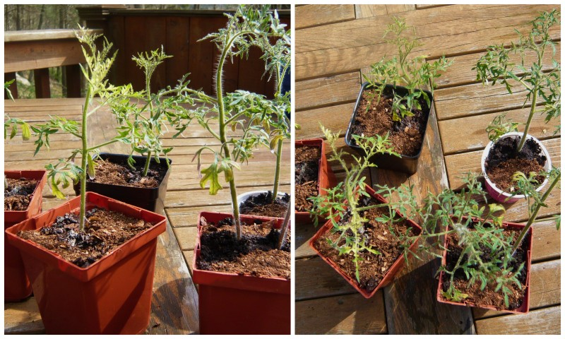 Silvery Fir tomato seedlings.