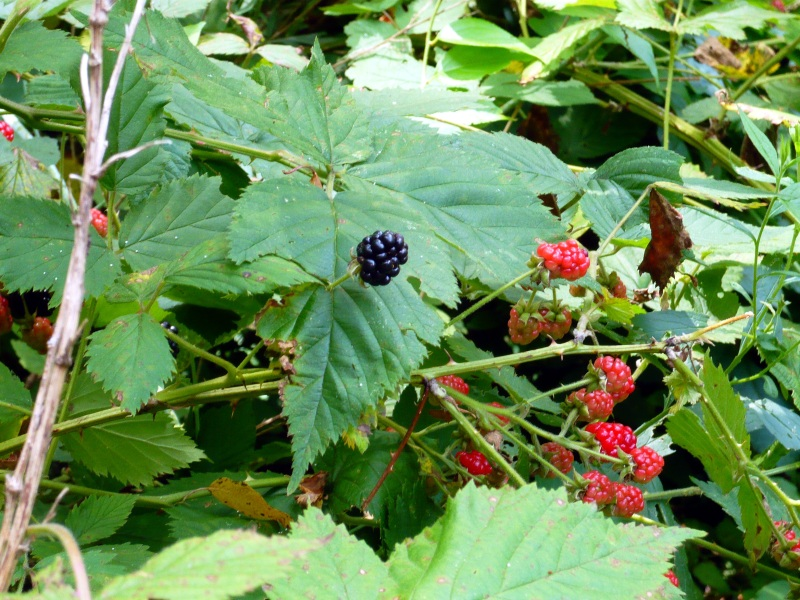 Wild Blackberry Leaves Wild Blackberries